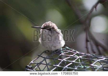 Puffed up hummingbird with white breast and black beak