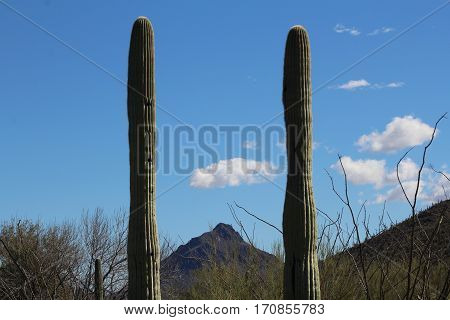 Two Cacti with mountain in background; blue sky