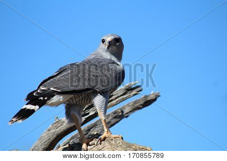 Gray Hawk on dead wood against blue sky