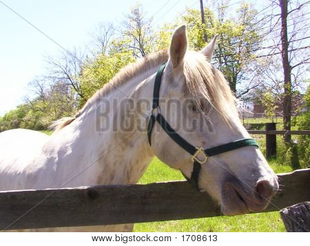 Dirty White Horse With Halter at wooden Fence