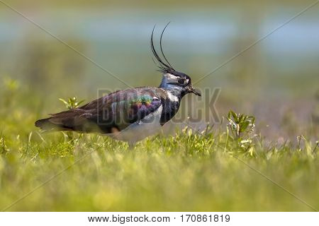 Northern Lapwing Walking Through Grass Of Wetland Habitat