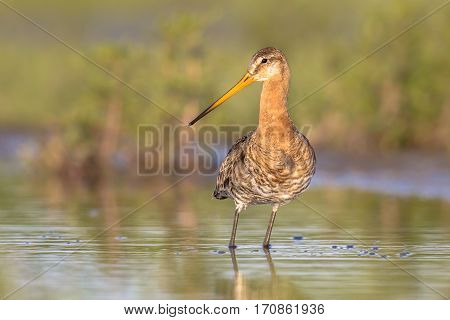 Suspiciously Looking Black-tailed Godwit Wader Bird