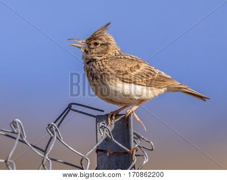 Singing Crested Lark  On Wire Mesh Fence