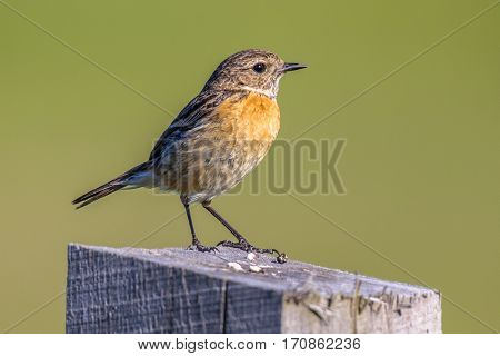 Female European Stonechat