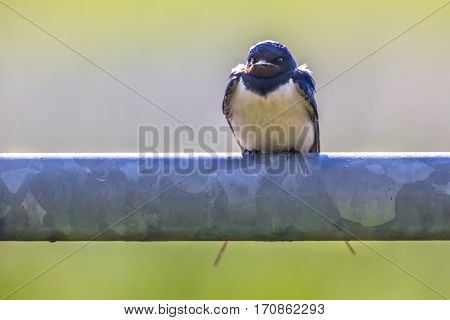 Frontal View Of Barn Swallow Perched On Metal Pipe