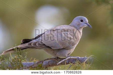 Eurasian Collared Dove On  Branch Of Conifer