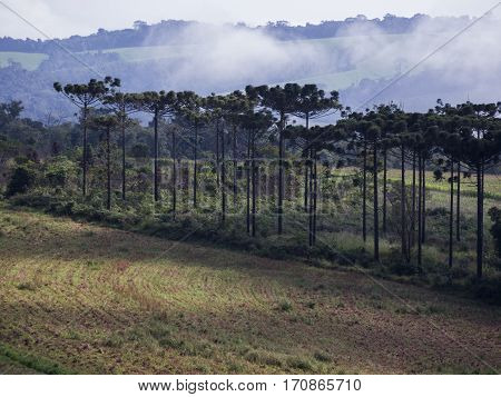 Araucaria tree (Araucaria angustifolia) pine nature forest rural