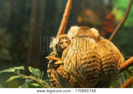 Common marmoset small monkey sitting on a branch
