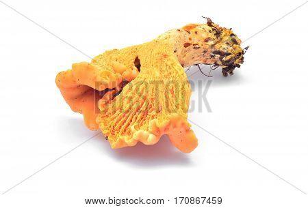cantharellus cibarius mushroom isolated on white background