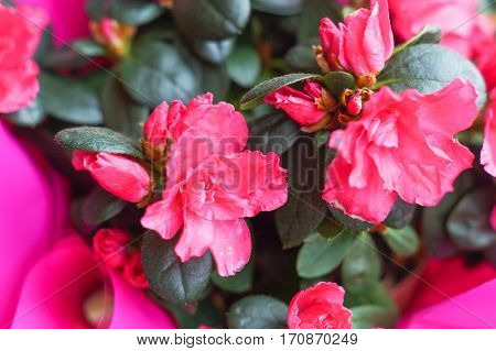 red azalea flower with green leaves beautiful background