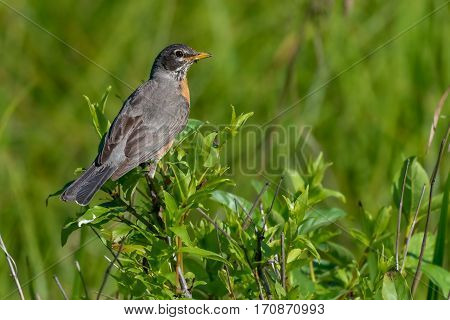 American Robin perched on a branch in morning light