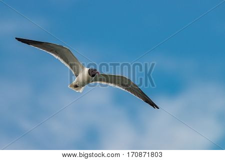 Sea gull flying in the blue sunny sky over the coast of atlantic