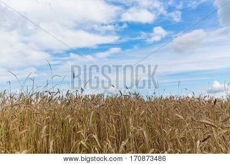 Wheat field and blue sky in sommer.