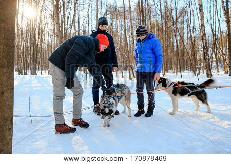 MOSCOW RUSSIA - FEBRUARY 02 2017: Сhildren equip the sledge with huskies under the instructor's supervision.