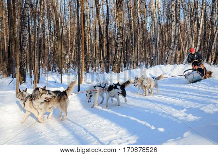MOSCOW RUSSIA - FEBRUARY 02 2017: Husky dogs are pulling sledge at sunny winter forest.