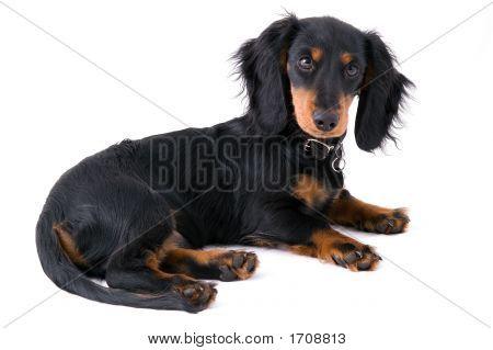 Black Dachshound Puppy