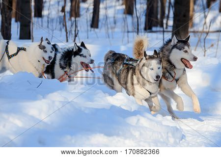 Husky dogs are pulling sledge at sunny winter forest in Moscow Russia.