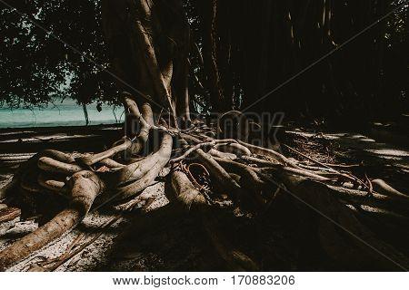 Banyan Tree At Tropical Island At Summertime