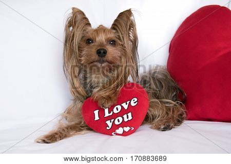 Very cute lover valentine yorkshire terrier boy dog with a red heart isolated on white background