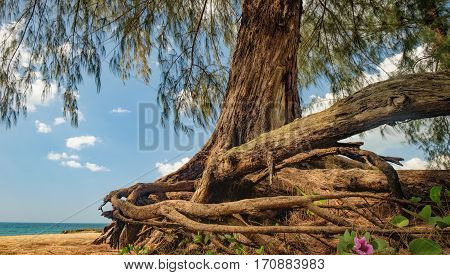Bottom view of Casuarinaceae tree in Nang Thong Beach, Khao Lak, Thailand. Old tree with winding roots growing on the white sand beach. Summer holiday vacation background