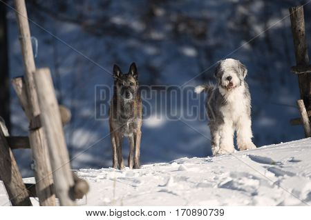 Two purebred dogs (Belgian Shepherd and Bearded Collie) standing before wooden gates and guards the farm of sheeps. It is beautiful sunny winter day.