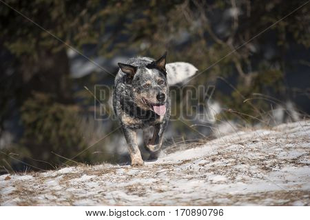Purebred dog Australian Cattle Dog (ACD) walking in nature. He seems a bit tired but happy. His coat grey colour give him old look.