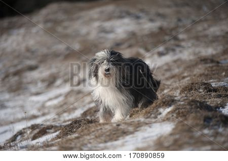 Portrait of happy purebred dog bearded collie on a winter day. He has long soft and furry coat blue with white markings.
