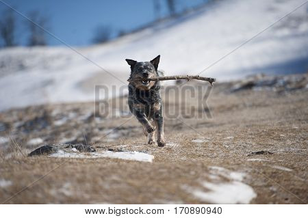 Happy dog running with stick in his mouth. He is playing run and fetch. Photography can be use for warning owners about dangerous of playing with sticks. It is better to use toys.