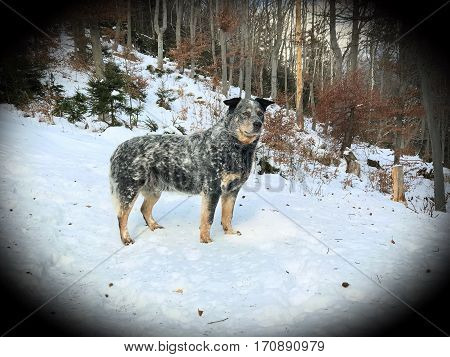 Purebred dog Australian Cattle Dog (ACD) standing in snow. He is waiting for herding work with cows. He has old grey colour of coat and cute black ears. Photography with filter.