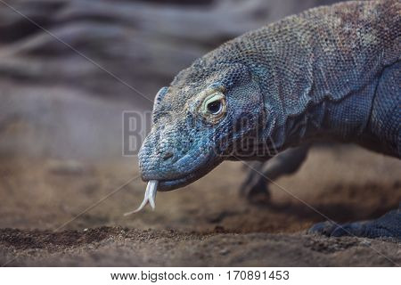 The Komodo Dragon close up at evening time