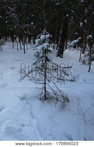 Little fur tree in winter forest photo