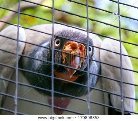 King Vulture, Sarcoramphus papa, Falconiformes, Bird of Prey
