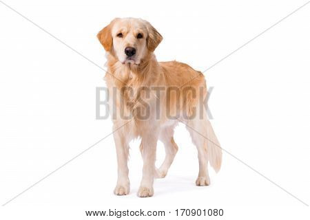 Golden Retriever adult standing serious isolated on white background