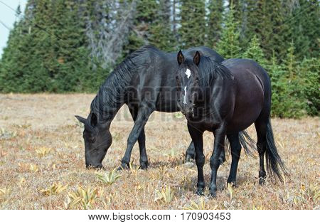 Black Band Stallion and Black Mare on Sykes Ridge in the Pryor Mountains Wild Horse Range on the Montana Wyoming border in U S A