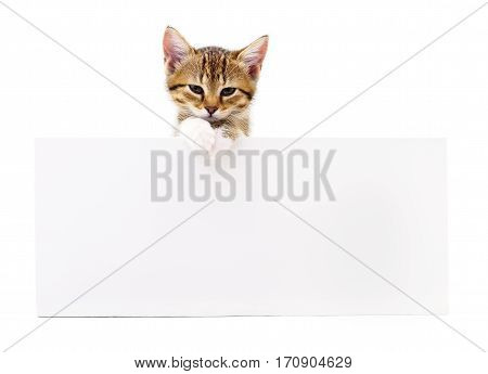 Kitten with blank isolated on white background.