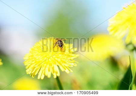 Honeybee and yellow flowers on green grass background.