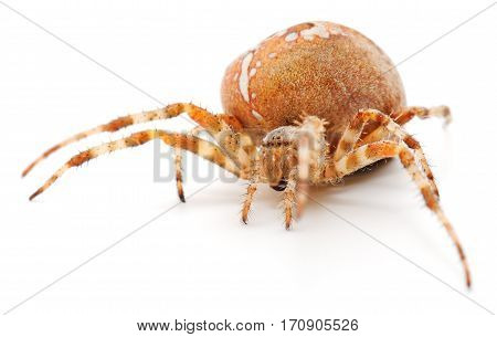 Brown house spider isolated on white background.
