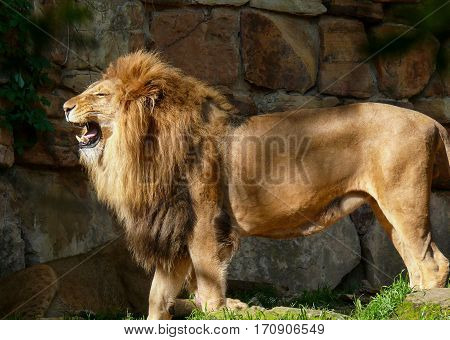 Male  African Lion with mane, standing and roaring