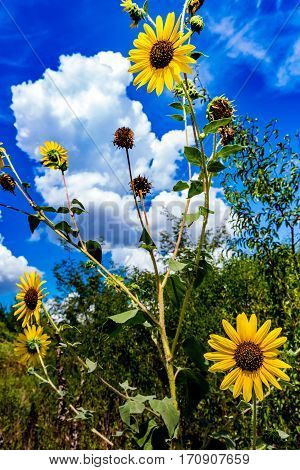 Wild Sunflowers In Oklahoma