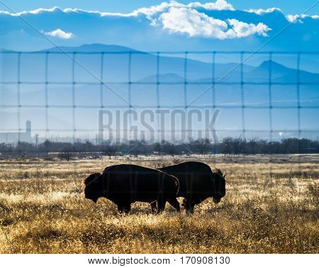 Two bison in silhouette on Colorado prairie, mountains in background