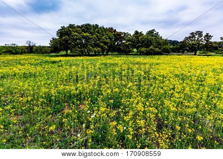 Yellow Texas Wildflowers With Bluebonnets.