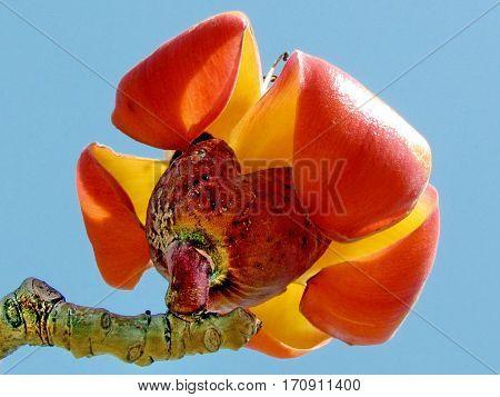 Orange flower of Bombax ceiba tree in Edith Wolfson Park in Ramat Gan Israel