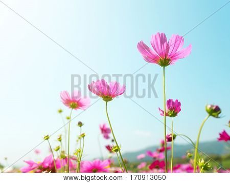 Pink cosmos (bipinnatus) flowers against the bright blue sky. Cosmos is also known as Cosmos sulphureus Selective Focus