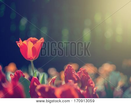 Amazing nature of red tulips under sunlight with at the middle of summer or spring day. Natural view of flower blooming in the garden with bokeh on black color as a background and fake sunlight Soft color filter