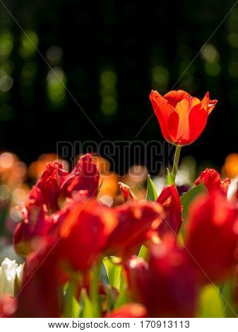 Amazing nature of red tulips under sunlight with at the middle of summer or spring day. Natural view of flower blooming in the garden with bokeh on black color as a background.
