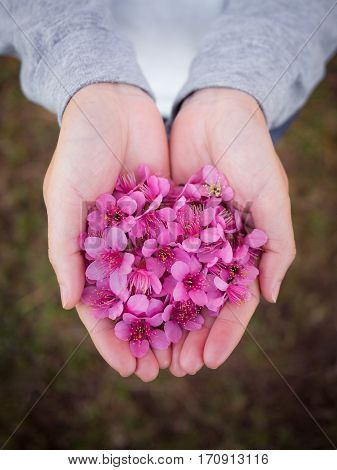 Top view and close up image of pink Wild Himalayan Cherry flowers (Sakura of Thailand) on woman hands with blurred bokeh background