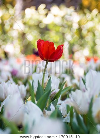 Amazing nature of red tulips under sunlight with at the middle of summer or spring day. Natural view of flower blooming in the garden with bokeh as a background.