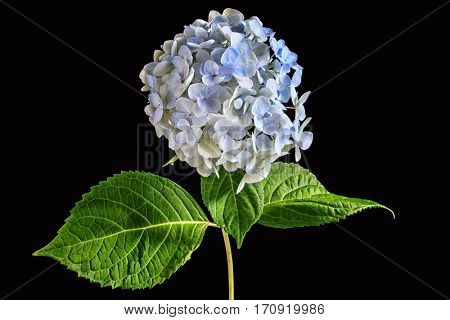 Blue hydrangea flower on black.