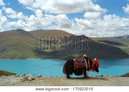Dinky Yak on the pass before Sacred lake Yamdrok Tso in Central Tibet.