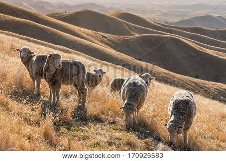 flock of merino sheep grazing on grassy hill at sunset